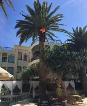 prune palms, gold coast, trees, palms