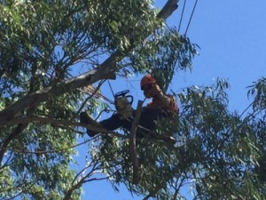 tree pruning, tree lopping, gold coast, healthy tree