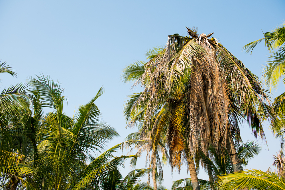 how to revive a dying palm tree