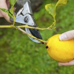 How to Prune a Lemon Tree? Check These 5 Easy Steps!