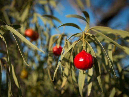 quandong trees for gold coast garden